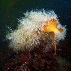 Colonia idrozootica su Laminaria — Foto stock