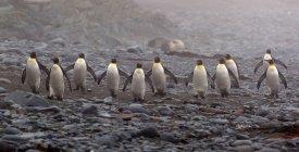 Pinguins rei caminhando na praia — Fotografia de Stock