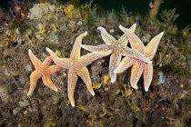 Estrella de mar común en los corales - foto de stock
