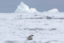 Crabeater seal laying on ice floe — Stock Photo