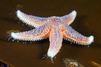 Estrella de mar común en marrón - foto de stock