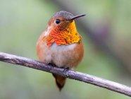 Allen hummingbird sitting on branch — Stock Photo