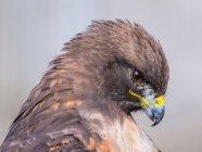 Rot - angebundener Falke Kopf — Stockfoto