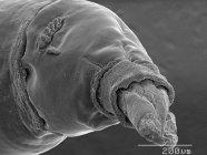 Casa mosca gusano con escala regla - foto de stock