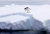 Condizione del pinguino sul bordo della banchisa — Foto stock
