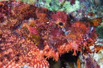 Red bearded scorpionfish in corals — Stock Photo