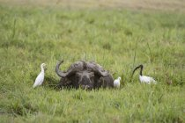 Bufalo del capo, Parco nazionale di Amboseli, in Kenya, Africa — Foto stock