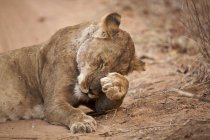 Lioness or Panthera leo in mana pools national park, zimbabwe — Stock Photo