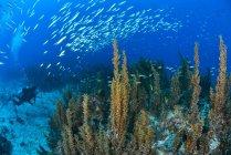 Vista submarina del buceador observando el banco de sardinas nadando sobre los arrecifes, Cabo Catoche, Quintana Roo, México - foto de stock