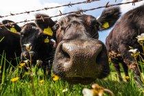 Vaches regardant la caméra — Photo de stock