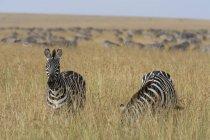 Ebenen Zebras grasen in Field in Masai Mara, Kenia, Afrika — Stockfoto
