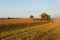 Crop field of oil seed rape cut — Stock Photo