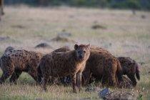 Iene al Masai Mara — Foto stock