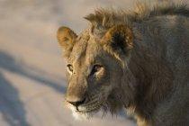 Close-up vista do rosto de leão no fundo desfocado — Fotografia de Stock
