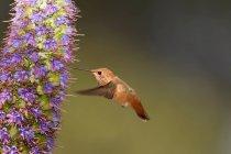 Beija-flor Allens tomando néctar de orgulho da flor madeira — Fotografia de Stock