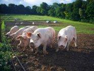 Cerdos de enraizamiento en el campo de tierra en la luz del sol - foto de stock