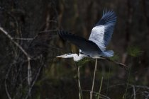 Grey heron, Lago Naivasha, Kenya, Africa — Foto stock