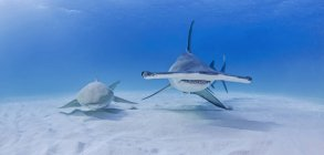 Great Hammerhead Shark beside Nurse Shark — Stock Photo