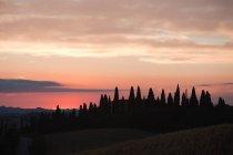 Cyprès au coucher du soleil près de Sienne — Photo de stock