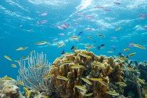 Pesci colorati alla barriera corallina tropicale — Foto stock