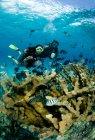 Водолазів і коралових Елкхорн. — стокове фото