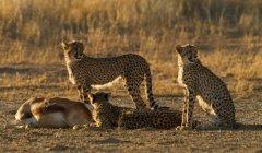Гепарды сохраняя наблюдать за убийство, Кгалагади трансграничном парк, Африка — стоковое фото