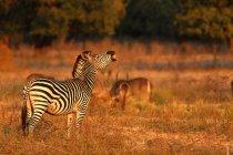 Cebra de Burchell riendo - foto de stock