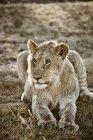Львица, лежа на лугу в Масаи Мара, Нарок, Кения, Африка — стоковое фото