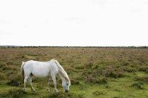 Cavalos selvagens pastando — Fotografia de Stock