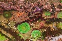 Anémones Vertes Géantes et Etoiles de Mer de Pisaster en zone intertidale à marée basse, Shi-Shi Beach, Parc National Olympique, Washington, USA — Photo de stock
