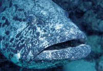Underwater view of Potato Cod, close-up — Stock Photo