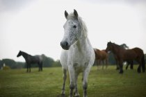 Portrait of grey horse on green field — Stock Photo