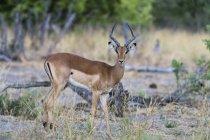 Impala looking at camera in chobe national park, botswana — Stock Photo