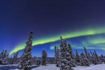 Aurora borealis in sky and snowcapped pine trees — Stock Photo