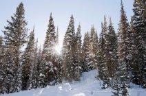 Luce solare attraverso gli alberi coperti di neve — Foto stock