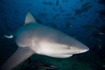 Underwater view of swimming tiger shark — Stock Photo