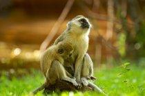 Дві милі мавпи Vervet в Замбії — стокове фото