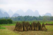 Campo de arroz yangshuo - foto de stock