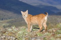 Eurasian lynx on hill — Stock Photo