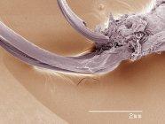 Color scanning electron microfotografia di ovopositore di sostituzione di casa Grillo — Foto stock