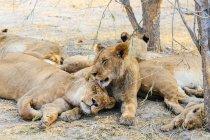 Löwen-Stolz ruht — Stockfoto