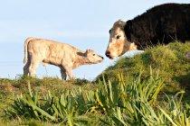 Kuh und Neugeborenen Kalb in Wiese mit Meeresblick auf Hintergrund — Stockfoto
