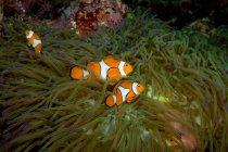 Educación de peces payaso cerca de la planta de anémona bajo el agua - foto de stock