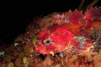 Gros plan de Red Irish Lord poissons sous l'eau — Photo de stock
