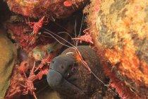 Enguia moray com camarão hingebeak, vista subaquática — Fotografia de Stock