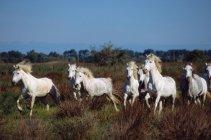 Caballos de la Camargue en campo - foto de stock