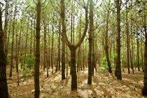 Bosque de pinos en otoño - foto de stock