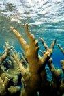 Grandes corales que crecen bajo el agua azul - foto de stock