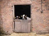 Calves at stable door — Stock Photo