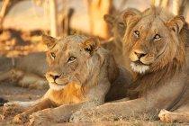 Lions or Panthera leo in Mana Pools, Zimbabwe — Stock Photo